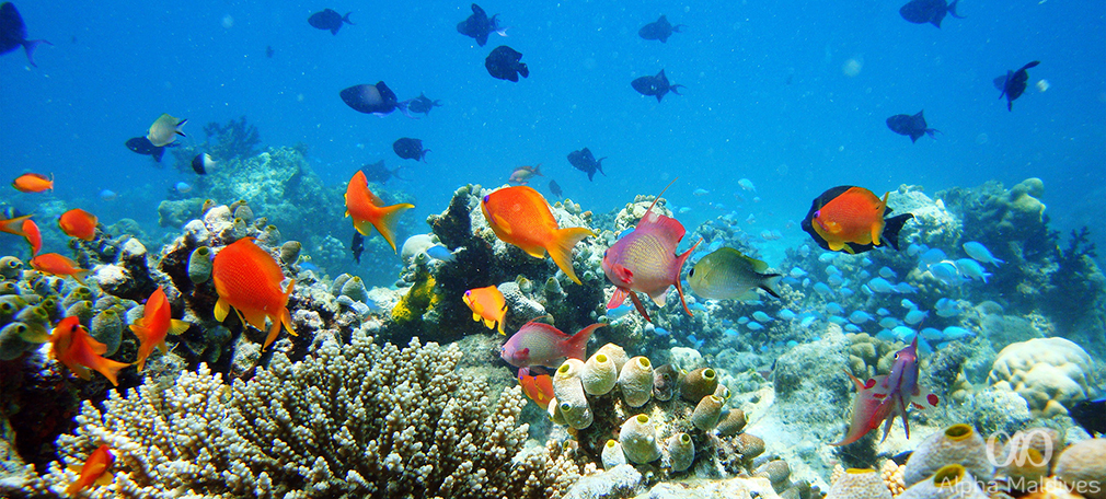 Snorkeling In The Maldives A Quick Guide Alpha Maldives