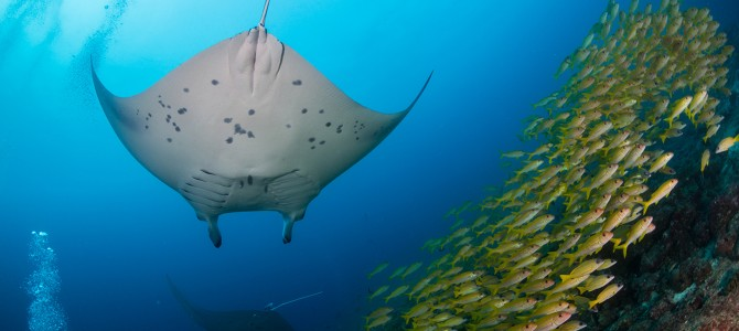 Manta and Whale Shark Watching in the Maldives